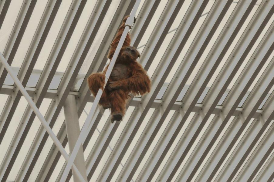 Orangutan na Placu Teatralnym w Antwerpii